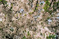 kwitnąca wiśnia z bliska