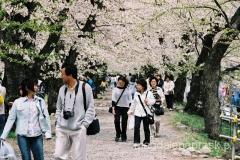 gdy wiśnie kwitną Japończycy masowo spacerują - przejście wiśniową alejką to dla nich obowiązkowy rytuał