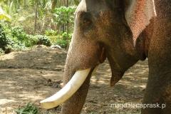 wesoły słoń indyjski