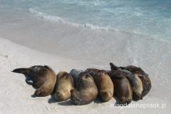 Galapagos to raj dla lwów morskich
