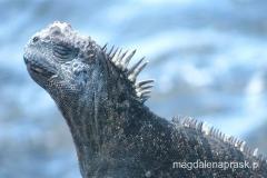 wygrzewający się legwan - Galapagos