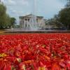 dywan kwiatowy w Poznaniu